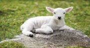خواص گوشت بره ؛ طبع گوشت بره و بهترین قسمت گوشت گوسفندی