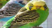 خواص شاهدانه برای مرغ عشق ؛ بررسی خواص شاهدانه برای تغذیه مرغ عشق