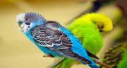 شاهدانه برای مرغ عشق ؛ خواص و مضرات شاهدانه برای تغذیه مرغ عشق