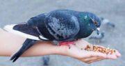 شاهدانه برای کبوتر ؛ شاهدانه غذای مقوی و مورد علاقه کبوتر
