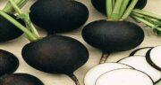 فواید شلغم سیاه ؛ خواص درمانی خوردن شلغم سیاه برای سلامتی