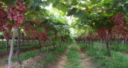 انواع برگ درخت انگور ؛ آشنایی با فواید برگ مو و بررسی انواع مختلف برگ درخت انگور