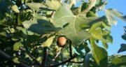 برگ انجیر برای دیابت مفید است ؛ تاثیر استفاده از برگ انجیر برای تنظیم و کنترل قند خون