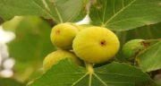 برگ انجیر برای دیابت ؛ بهترین روش و زمان مصرف برگ انجیر برای درمان دیابت