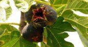برگ انجیر چه خاصیتی دارد ؛ فواید درمانی و دارویی مصرف برگ انجیر برای سلامتی بدن