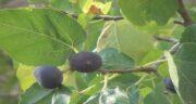 برگ انجیر چه فوایدی دارد ؛ خاصیت های بسیار زیاد استفاده از برگ انجیر
