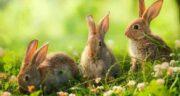 برگ تربچه برای خرگوش ؛ برگ تربچه به عنوان غذایی مفید برای خرگوش