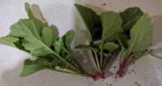 برگ تربچه چه خواصی دارد ؛ تنظیم فشار خون و درمان کم خونی با مصرف برگ تربچه