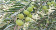 برگ زیتون برای قند ؛ فواید و مضرات استفاده از برگ زیتون برای قند خون