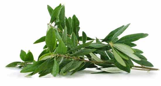 برگ زیتون برای مو ؛ درمان شوره سر و ریزش مو با استفاده از برگ زیتون