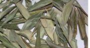 ترکیبات برگ زیتون ؛ آیا می دانید برگ زیتون دارای چه ترکیباتی است