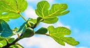 خواص برگ انجیر برای سرفه ؛ فواید استفاده از برگ انجیر برای درمان سرفه