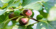 خواص برگ انجیر برای پروستات ؛  تاثیر استفاده از برگ انجیر برای درمانی بیماری پروستات