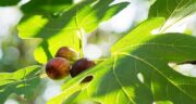 خواص برگ انجیر خشک شده ؛ همه چیز درباره فواید برگ انجیر خشک شده برای سلامتی