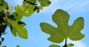 خواص برگ انجیر در دیابت ؛ کنترل سطح قند خون با مصرف برگ انجیر