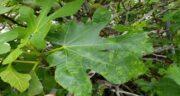 خواص برگ انجیر و دیابت ؛ وجود انسولین فراوان در برگ انجیر مفید برای دیابت