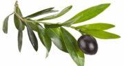 خواص برگ زیتون در طب سنتی ؛ همه چیز درباره خواص و فواید مصرف برگ زیتون