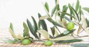 خواص برگ زیتون و دیابت ؛ درمان بیماری دیابت با مصرف برگ زیتون
