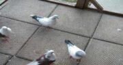 خواص جوش شیرین برای کبوتر ؛ کاربرد و موارد استفاده از جوش شیرین برای کبوتر