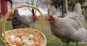 خواص جو برای مرغ تخمگذار ؛ بررسی ارزش غذایی جو برای غذای مرغ تخمگذار