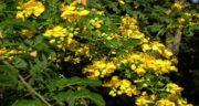 خواص سنا و گل سرخ ؛ فواید مصرف سنا و گل سرخ برای سلامتی بدن