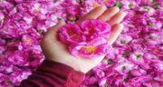 سنا و گل محمدی برای لاغری ؛ بررسی تاثیر خوردن سنا و گل محمدی برای کاهش وزن