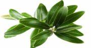 طبع برگ زیتون گرم است یا سرد ؛ طبیعت برگ زیتون چگونه است
