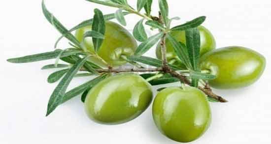 عوارض برگ زیتون چیست ؛ در چه مواردی خوردن برگ زیتون برای بدن مضر است