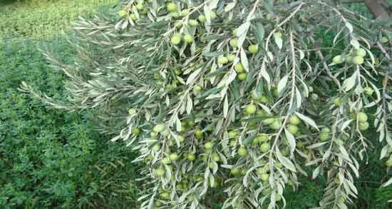 عکس برگ درخت زیتون ؛ آشنایی با مشخصات و ویژگی های ظاهری برگ درخت زیتون