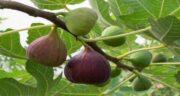 فواید برگ انجیر برای دیابت ؛ فواید و خواص درمانی دمنوش برگ انجیر برای افراد دیابتی