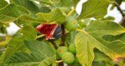 فواید برگ انجیر در طب سنتی ؛ تاکید برای مصرف برگ انجیر از نظر بزرگان طب سنتی
