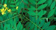 فواید برگ سنا چیست ؛ خواص مصرف برگ سنا برای درمان بیماری ها