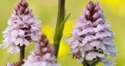 فواید ثعلب چیست ؛ آشنایی با خاصیت های فراوان گیاه ثعلب