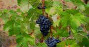 مضرات برگ انگور ؛ آشنایی با مضرات و عوارض خوردن برگ انگور