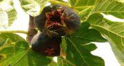 مضرات برگ درخت انجیر ؛ در چه صورتی مصرف برگ درخت انجیر ضرر دارد