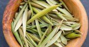 مضرات برگ زیتون ؛ استفاده از برگ زیتون چه ضرری برای سلامتی دارد
