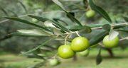 مضرات مصرف برگ زیتون ؛ چه کسانی نباید برگ زیتون مصرف کنند