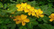 مضرات گیاه سنا ؛ استفاده از گیاه سنا چه مضرات و عوارضی برای بدن و سلامتی دارد
