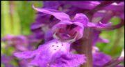 معایب و مضرات ثعلب ؛ مصرف گیاه ثعلب چه ضرری برای سلامتی دارد