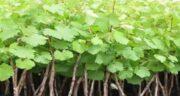موارد مصرف برگ انگور ؛ کاربردهای درمانی برگ انگور