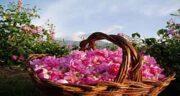 غنچه گل محمدی خشک ؛ مصرف مفید غنچه گل محمدی خشک برای غذا