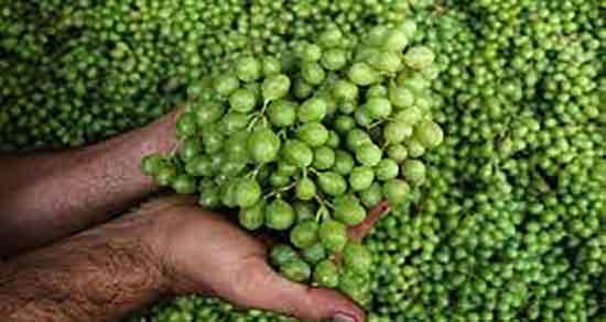 غوره برای چی خوبه ؛ مصرف غوره برای غذا فواید ان در طب سنتی