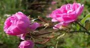 خواص غنچه گل محمدی برای پوست ؛ فواید گل محمدی و زیبایی پوست