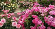 خواص دمنوش گل محمدی ؛ در طب سنتی و طرز تهیه و مضرات دمنوش گل محمدی