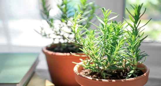 خواص رزماری در باغچه ؛ فواید کاشتن و نگهداری رزماری در باغچه