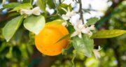 دمنوش بهار نارنج برای بارداری ؛ خطر سقط جنین با مصرف دمنوش بهار نارنج