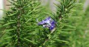 گل رزماری ؛ آیا می توان از گل رزماری استفاده کرد و چه خواصی دارد؟