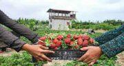 عکس برگ توت فرنگی ؛ خرید برگ توت فرنگی برای دستگاه گوارش