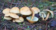 انواع قارچ ؛ انواع قارچ های خوراکی کوهی + انواع قارچ پرورشی