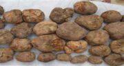 فواید قارچ دنبلان ؛ خواص قارچ دنبلان کوهی برای اسپرم اقایان